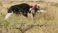 Flush pink (Nagarjun) Tags: struthiocamelus commonostrich sex mating nairobinationalpark kenya wildlife birdlife bird avifauna