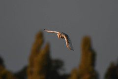 Barn Owl  At sun set. (carl owlman) Tags: barnowl