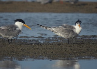 little crested tern