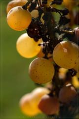 Grapes (iLaura_) Tags: grapes uva vendemmia autunno fineestate