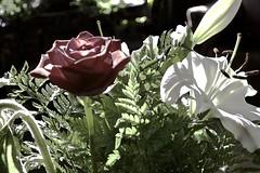 ••• (zawaski) Tags: alberta beauty canada canmore naturallight noflash zawaski©2018 rockymountains sunflower rose calgary flowers love ambientlight lily canonef2035mmf3545usm