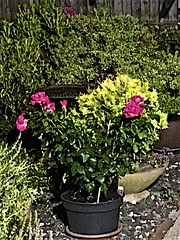 My Garden early morning (brianarchie65) Tags: flowers leaves plantstubs iphonese rose roses garden nighttime brianarchie65 geotagged kingstonuponhull hull unlimitedphotos ngc yorkshirecameraramblers flickrunofficial flickr flickruk flickrcentral flickrinternational ukflickr
