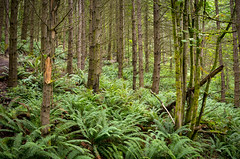 Forest Ferns (s.d.sea) Tags: forest woods fern ferns green tiger mountain issaquah washington washingtonstate pnw pacificnorthwest pentax k5iis nature hiking hike trail plants