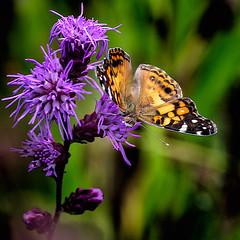 Eyeball to Eyeball (Portraying Life, LLC) Tags: dbg6 da3004 hd14tc k1mkii michigan pentax ricoh unitedstates butterfly closecrop handheld nativelighting leonardspreserve meadow flower dryprairie