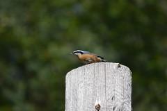 2018-09-10 Bird Watching 28 (s.kosoris) Tags: skosoris nikond3100 d3100 nikon bird birds nuthatch camp huronian