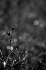 Flower (PetuPictures) Tags: blackwhite blackandwhite black white bw boke bokeh sigma pentax art finland nature lights light water drops grass field explore europe showroom