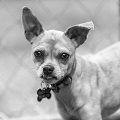 Bailey15Sep201830-Edit.jpg (fredstrobel) Tags: dogs blackandwhite places atlanta usa pets animals ga pawsatanta phototype pawsdogs decatur georgia unitedstates us