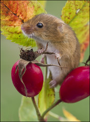 Harvest Mouse (Craig 2112) Tags: harvest mouse micromys minutus rodent mammal macro autumn