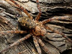 Cyclotenid Spider (treegrow) Tags: newzealand moana lakebrunner nature lifeonearth raynoxdcr250 arthropoda arachnida araneae spider cycloctenus cyclotenidae taxonomy:genus=cyclotenus
