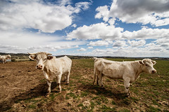 Bad girls (Olga~) Tags: hierba animal cielo ganado paisaje campo carretera cow hdr landscape spain clouds