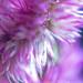 Purple Flamingo Celosia Flower