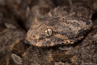 Desert Mountain Adder (Bitis xeropaga)