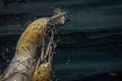 Gannets v Fish (3 of 3) (andy_harris62) Tags: gannets fish bird seabird action nikon water sea ocean
