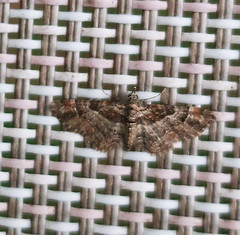 Double-striped Pug (StJohn Smith1) Tags: closeups insects moths macromoths geometridae pugs sussex british garden visitors