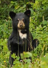 Black bear cub...#4 (Guy Lichter Photography - 4M views Thank you) Tags: canon 5d3 canada manitoba rmnp wildlife animals bears blackbear cub