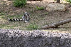 ringtail lemur (vyhphotography) Tags: canoneos80d kansas wichita sedgwick zoo animals lemur