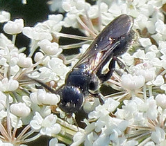 Tiphiid Wasp, Tiphia sp., Assunpink Wildlife Management Area, Monmouth County, NJ (Seth Ausubel) Tags: hymenoptera tiphiidae