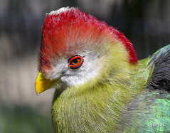 Red-crested Turaco (jt893x) Tags: 150600mm bird d500 jt893x nikon nikond500 portrait profile redcrestedturaco sigma sigma150600mmf563dgoshsms tauracoerythrolophus turaco alittlebeauty coth thesunshinegroup coth5 ngc sunrays5