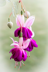 Fuschia's (Jez22) Tags: fuschia plant beautiful pink beauty bright flowers blossom background natural floral magenta nature vibrant colourful outdoors purple bloom attractive vivid cerise blooms colorful maroon hues carmine delicate horticulture copyright jeremysage kent england