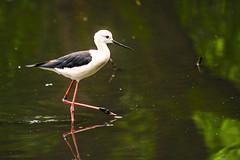 IL CAVALIERE D' ITALIA    ---- BLACK-WINGET STILT (Ezio Donati is ) Tags: uccelli birds animali animals natura nature acqua water italia parcodelticino provinciadipavia