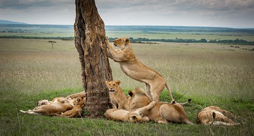 Tree Lion pride again - Masai Mara