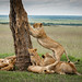 Tree Lion pride again - Masai Mara