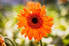 Orange Gerbera (Carole Pallier) Tags: gerbera orange orangegerbera flower petals bokeh