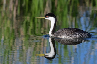 Western Grebe With Reflection - 0865b+