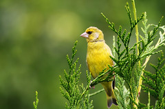 Greenfinch. (Chris Kilpatrick) Tags: chris canon canon7dmk2 outdoor wildlife nature sigma150mm600mm animal bird greenfinch conifer garden autreppes picardie france laisne green