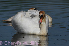 Mute Swan (Cheryl's Wildlife) Tags: wildlife nature dorset rspb birds 2018 birdwatching nikon sigma photography southcoast arne poole portland weymouth naturereserve pooleharbour