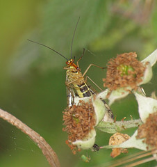 2018_07_0301 (petermit2) Tags: scorpionfly fly northcavewetlands northcave brough eastyorkshire eastridingofyorkshire yorkshire yorkshirewildlifetrust ywt wildlifetrust wildlifetrusts