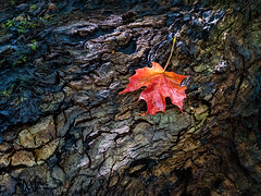 it's beginning to look a lot like ... autumn! (marianna_a.) Tags: autumn endofsummer red maple sugarmaple change time season wet wood tree forest nature texture montreal quebec canada mariannaarmata