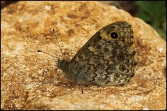 Wall Brown resting (glostopcat) Tags: wallbrownbutterfly butterfly insect invertebrate macro august summer glos butterflyconservation prestburyhillnaturereserve