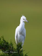 Little blue heron juvenile (mayekarulhas) Tags: oceancity newjersey unitedstates us