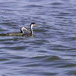Young Western Grebe with fish thumbnail