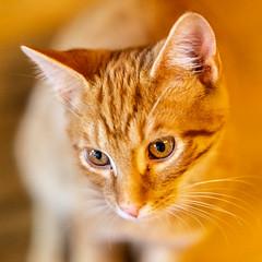 Javacatscafe08Sep20180322.jpg (fredstrobel) Tags: javacafecats javacatscafe atlanta places animals ga pets cats usa georgia unitedstates us