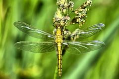 Libelle (otto.detlef) Tags: libelle animals natur landschaft landscape insekt österreich austria bodenseekreis nikon d5300 makro