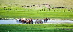2014 Mongolia (paulcore8118) Tags: free horses mongolia steer