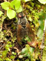 Tachinid Fly (treegrow) Tags: newzealand nature lifeonearth raynoxdcr250 arthropoda insect diptera fly tachinidae