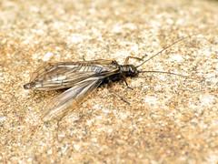 Stonefly (treegrow) Tags: newzealand nature lifeonearth raynoxdcr250 insect arthropoda plecoptera