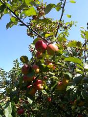 20180916_Mohndorf_002 (Tauralbus) Tags: armschlag mohndorf niederösterreich loweraustria waldviertel apfel apple frucht fruit obst apfelbaum