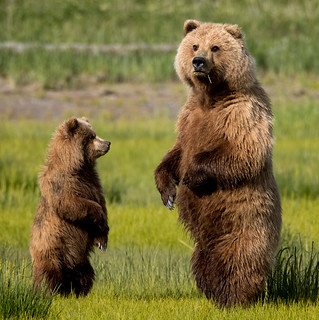 2018 Lake Clark National Park- Bears Standing Up (25)