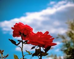 deux roses (Jack_from_Paris) Tags: p1000005 panasonic dmcgx8 micro 43 raw mode dng lightroom capture nx2 rangefinder télémétrique colors couleurs fleur flower rose ciel cloud nuage