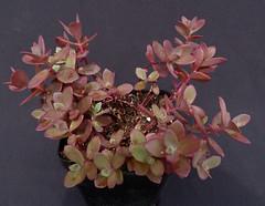 Hylotelephium 'Firecracker' (Nessy apprentie en rangement) Tags: sedum succulent crassulaceae hylotelephium agl