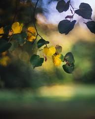 Signs of autumn (--StadtKind--) Tags: sonnenuntergang sunset blätter leaves stadtkind manuallens primelens vintagelens teamsony alphaddicted sonyalpha depthoffield doflicious dof bokehlicious bokehaddicts bokehmasters bokeh