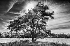 Sonnenbaum (tan.ja1212) Tags: sonne sun himmel sky baum tree schwarzweis blackandwhite heide westruperheide sunbeams heath