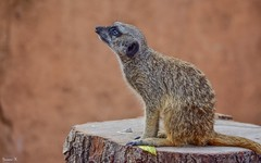 LE SURICATE - 5796 (ΨᗩSᗰIᘉᗴ HᗴᘉS +22 000 000 thx) Tags: hensyasmine namur belgium europa aaa namuroise look photo friends be wow yasminehens interest intersting eu fr greatphotographers lanamuroise tellmeastory flickering pairidaizasuricate tamron