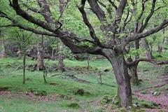 The Tree (sean.sorber) Tags: woods nature glendalough wicklow ireland irish green