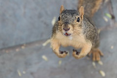 Squirrels in Ann Arbor at the University of Michigan (August 28th, 2018) (cseeman) Tags: gobluesquirrels squirrels annarbor michigan animal campus universityofmichigan umsquirrels08282018 summer eating peanut augustumsquirrel foxsquirrels easternfoxsquirrels michiganfoxsquirrels universityofmichiganfoxsquirrels