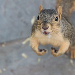 Squirrels in Ann Arbor at the University of Michigan (August 28th, 2018) thumbnail